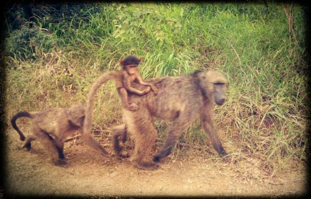 Baboons at our Hluhluwe Nature Reserve, South Africa